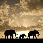 Olifanten zijn kuddedieren