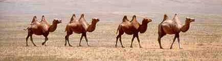 Ook kamelen zijn kuddedieren.
