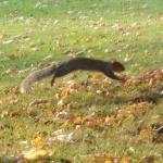 Deze grijze eekhoorn is een leuke spring-in-'t-veld.