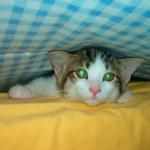 Een kat in bed veroorzaakt een bult in de deken: een kat-dekbed-excitatie.