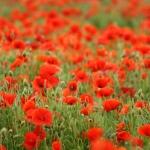 Klaprozen als symbool voor vele gesneuvelde soldaten in de Eerste Wereldoorlog.