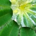 Waterdruppel op het blad van een lupine.
