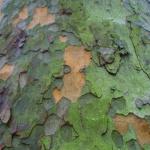 De schors van een plataan bladdert af; de afwisseling tussen oudere en nieuwere lagen zorgt voor mooie kleurschakeringen.