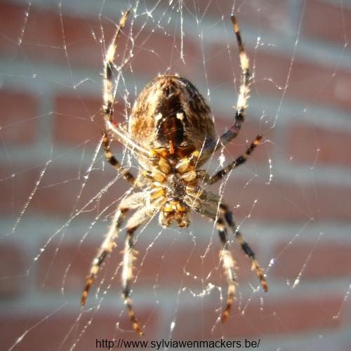 Zo ziet een spin er aan de onderkant uit.