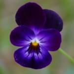 Dit viooltje is paars, de kleur van tovenaars.